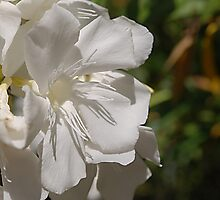 white oleander bloom in full sunlight by Lenny La Rue, IPA