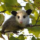 Baby Opossum by steini