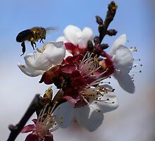 Apricot Bee 1 by Rosie Appleton