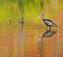 Glossy Ibis ~ Kimberley Colours #3  by Robert Elliott