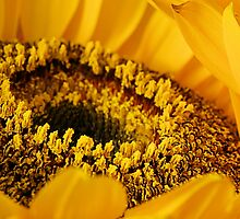 Sunny Sunflower by BlaizerB