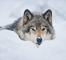 Timber Wolf In Snow by Michael Cummings