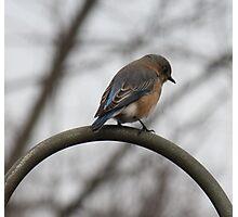 Bluebird of Happiness  Photographic Print