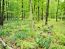 Iris In a Spring Forest by NatureGreeting Cards ©ccwri