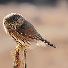 Pygmy Owl 3 by Tracy Friesen