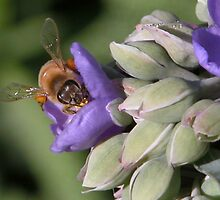Bee Close up on a Spiderwort purple flower by toots