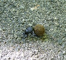Dung Beetle and his.... stash by Janelle Austin