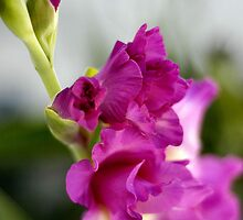 Gladiolas With a Glow by SueAnne