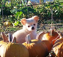 Pumpkin Puppy by Butterfly2008
