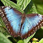 Blue Morpho by PhotosByHealy