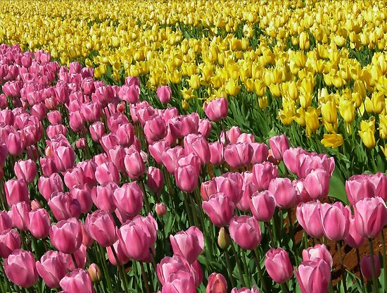 Tulips by JuliaWright