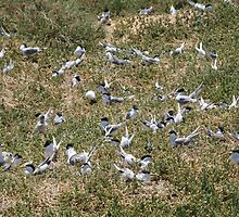 Crowded Terns by kalaryder
