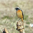 Redstart for February by kibishipaul