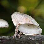 Porcelan Mushroom (Oudemansiella Mucida) by ©FoxfireGallery / FloorOne Photography