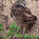 Burrowing Owl  #12 by Virginia N. Fred