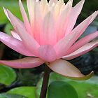 Pink Water Lily by NatureGreeting Cards ccwri