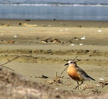 Least Sandpiper by Andrew S
