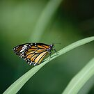monarch by mc27