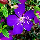 Tibouchina by Magee