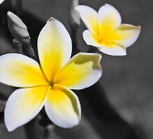 Yellow Plumeria by majipineapple