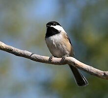 Black-Capped Chickadee by Renee Dawson