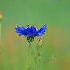 Cornflower by Martins Blumbergs