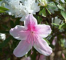 Azalea Bloom by MeMeBev