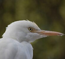 Cattle egret by David  Hall