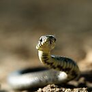Grass snake in attack mode by Taka