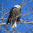 Bald Eagle Over Its Shoulder by Deb Fedeler