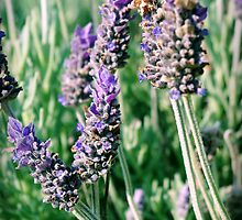 lavender patch... by Wendy L Vandeven