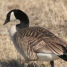 Shy Goose by Stephen Thomas
