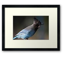 Steller's Jay ~ Provincial Bird of British Columbia, Canada Framed Print