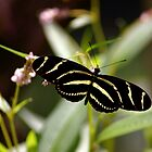 Zebra Longwing by patti4glory