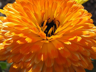 Shades of Orange by Maryanne Lawrence