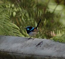Blue Wren by Hippo
