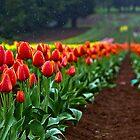 Tulip Drizzle fo shizzle by Bryan Villamin