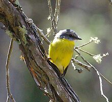 Eastern Yellow Robin by Biggzie