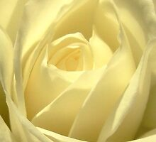 Classic White Iceberg Rose by HippyDi