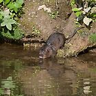 Water vole taking to the water by Christopher Cullen