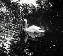 Lonely Swan.. by Eugenio