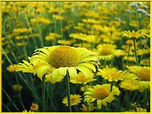 Sunny yellow paradise by LudaNayvelt