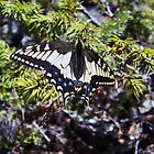 Zebra Butterfly by fairygirl