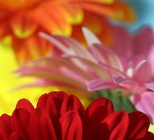 Gerbera feast by mooksool