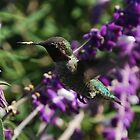 Hummingbird Pebble Beach  by pinkT