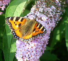 Small Tortoiseshell butterfly (Nymphalis urticae) feeding on Buddleia davidii by Lensman2008