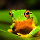 Orange thighes green tree frog by Johan Larson