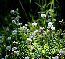 White Clover by Kathleen Daley