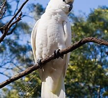 Cockatoo at Grant's Picnic Ground, Dandenong Ranges by John Lambert