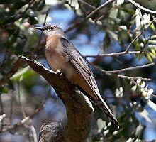 Fan-tailed Cuckoo by Robert Elliott